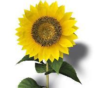 Slunečnicová semínka: dobré a zdravé chroupání