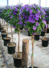 Hořcový stromek: modrá ozdoba balkonu