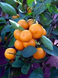 Calamondin - vypěstujte si pomerančíky!