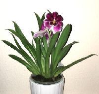 Miltonie – orchideje, které vás budou bavit!