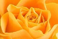 Růže – jakou vybrat?